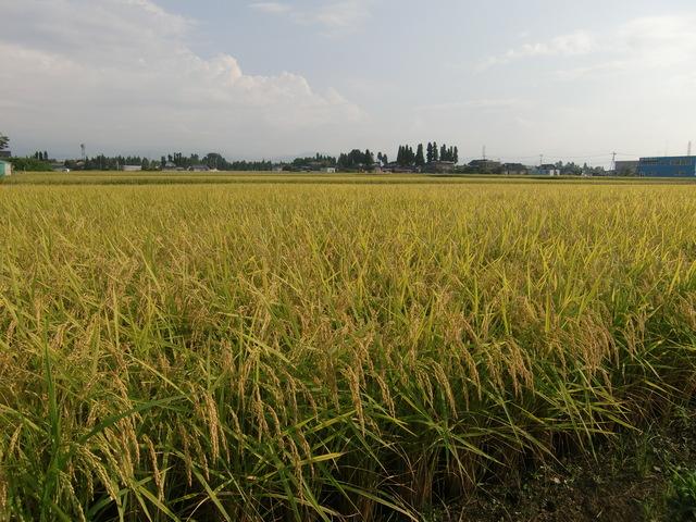045稲の香り.JPGのサムネール画像