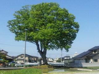 2013-05-12 09.19.46 dai keyaki.jpg